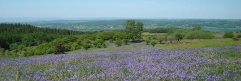 Bluebells on Black Down © Mendip Hills AONB Unit
